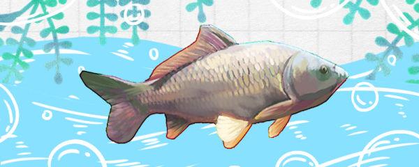 鲤鱼和锦鲤的区别是什么,能养在一起吗