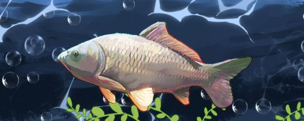 鲤鱼能活多少年,多大可以繁殖