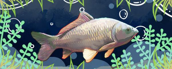鲤鱼是草鱼吗,和草鱼有什么区别