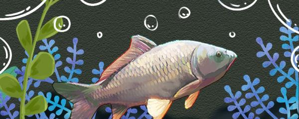 鲤鱼是河鱼还是海鱼,在海里能活吗