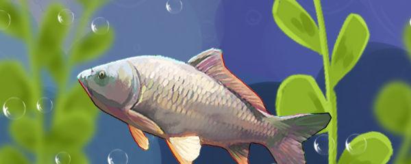 鲤鱼一年产卵几次,繁殖期是什么时候