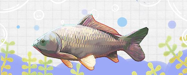 鲤鱼有多少品种,常见品种有哪些