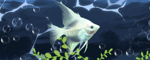 玻璃神仙鱼好养吗,怎么养