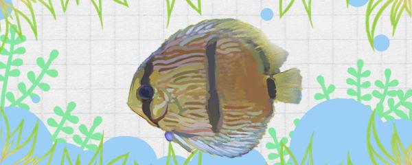 黑格尔七彩神仙鱼好养吗,怎么养
