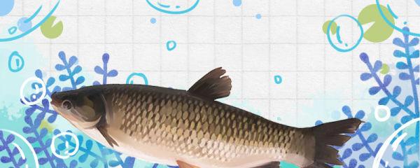 3cm的草鱼一年长多大,喂什么长得快