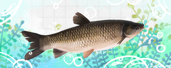 草鱼得出血病是什么原因,治疗方法是什么