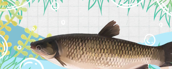 草鱼用什么饲料喂最好,多久喂一次