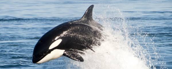 中国海域有虎鲸吗,中国哪里有虎鲸