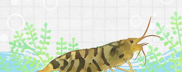 虾侧躺就是快死吗,虾死亡的原因是什么