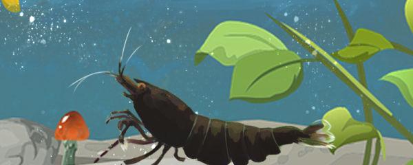 虾吃什么食物长大,虾不吃料是什么原因