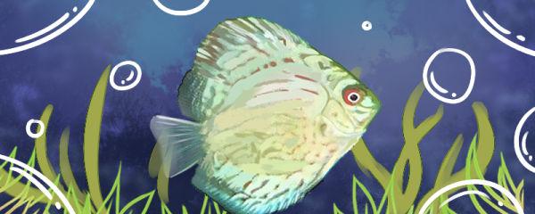 绿七彩神仙鱼好养吗,怎么养