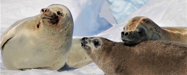 海豹有脚吗,有牙齿吗