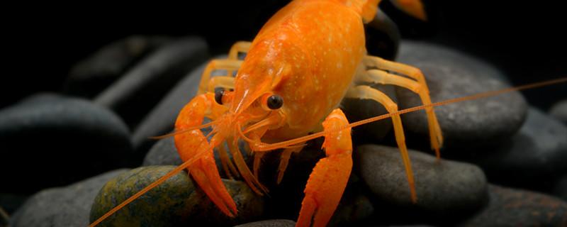 观赏虾躺着不动但没死是怎么回事,虾为什么躺着不动