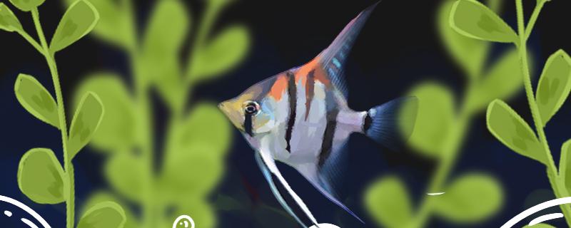 三色神仙鱼好养吗,怎么养