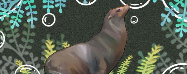海狮能活多少年,能长多大