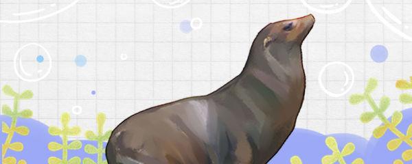海狮有耳朵吗,耳朵有什么作用