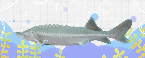 鲟鱼可以养殖吗,可以和锦鲤混养吗