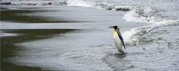 企鹅是恒温动物吗,体温是多少