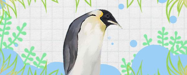 企鹅是鸟类吗,会不会飞