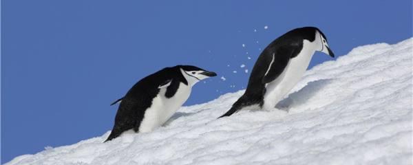 企鹅是一夫一妻制么,一生有几个伴侣