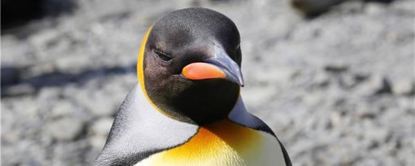 企鹅是在南极还是北极,能在北极生活吗