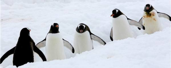 企鹅分布在南极还是北极,送到北极会死吗