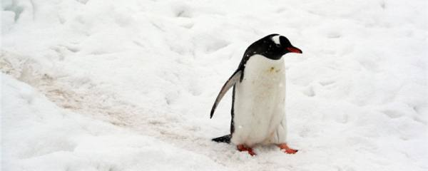 企鹅有尾巴么,尾巴是用来干什么的