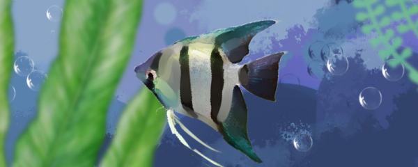 斑马神仙鱼和秘鲁神仙鱼有什么区别,能一起养吗