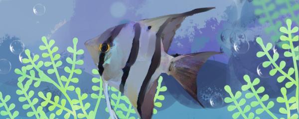 秘鲁神仙鱼能长多大,能活多久