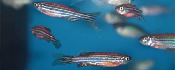 斑马鱼长得快吗,2cm斑马鱼多久可以长大