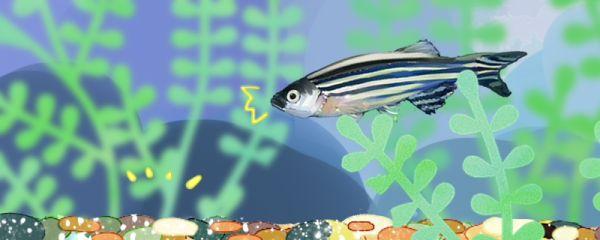 斑马鱼容易爆缸吗,怎么养会爆缸