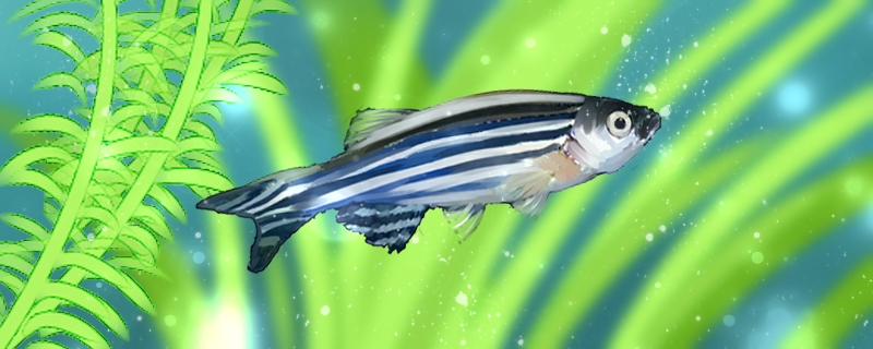 斑马鱼为什么浮在水面上,浮在水面上怎么处理