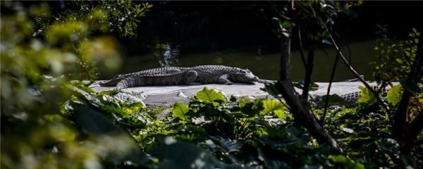 鳄鱼是胎生还是卵生,多久繁殖一次