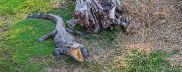 小鳄鱼养大了怎么处理,能放生吗