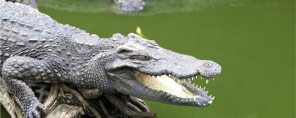 鳄鱼能活多久,能长多大