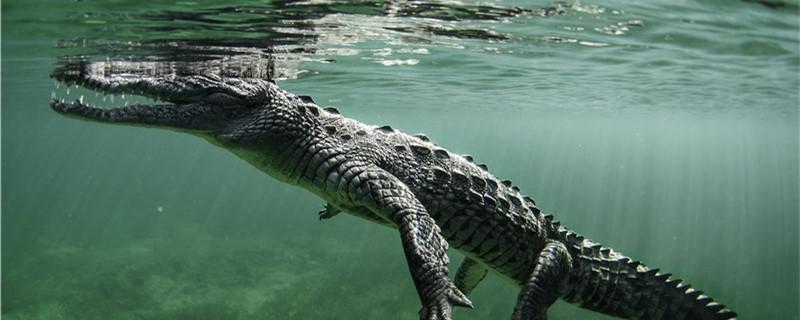 鳄鱼有没有舌头,舌头在哪里- 鱼百科