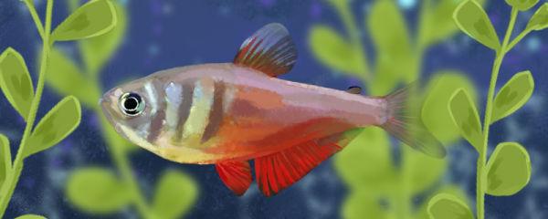 火焰灯鱼好养吗,怎么养