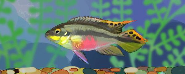 红肚凤凰鱼好养吗,怎么养