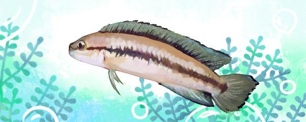 白玉凤凰鱼好养吗,怎么养