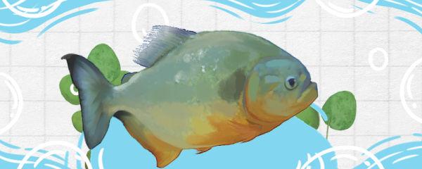 红腹水虎鱼好养吗,怎么养