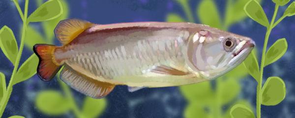 澳洲斑纹龙鱼好养吗,怎么养