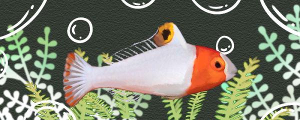 白鹦哥鱼好养吗,怎么养