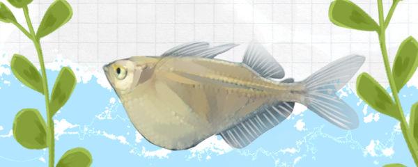 银燕子灯鱼好养吗,怎么养