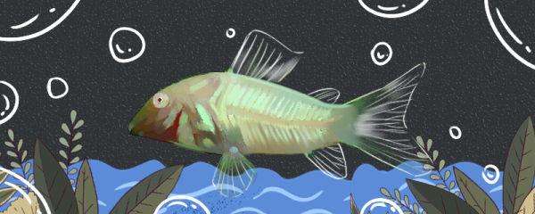 白鼠鱼好养吗,怎么养