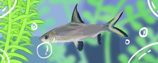 银鲨好养吗,怎么养
