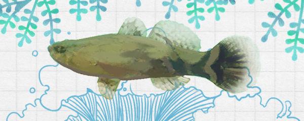 笋壳鱼生活在哪里,是海鱼还是河鱼
