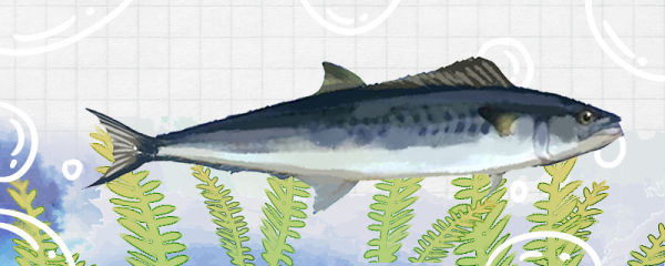 马鲛鱼刺多吗,和鲅鱼比哪个刺多