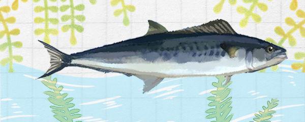 马鲛鱼和金枪鱼一样吗,有什么区别