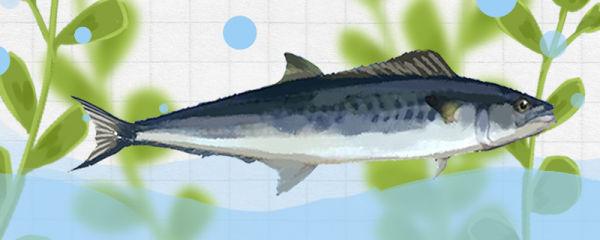 马鲛鱼和青占鱼一样吗,有什么区别