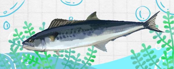 马鲛鱼有鱼鳞吗,是无鳞鱼吗